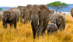 Pity the Elephants | National Review Online