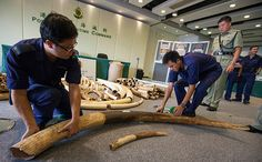 Urgent appeal to EU States: destroy your confiscated ivory stockpiles