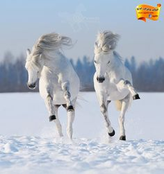 Two galloping snow-white horses. Gray Welsh pony galloping on snow field , All The Pretty Horses, Beautiful Horses, Animals Beautiful, Beautiful Gorgeous, Absolutely Stunning, Simply Beautiful, Horse Pictures, Animal Pictures, Animals Photos