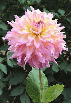 "Mingus Nicole Dahlia (9"" bloom; 4' bush): informal decorative; pink and yellow blend."