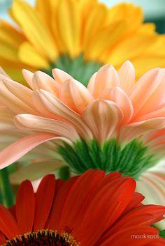 ✯ Gerbera Trio - One of my favorite flowers! Happy Flowers, All Flowers, Flowers Nature, Amazing Flowers, Colorful Flowers, Beautiful Flowers, Blooming Flowers, Sunflowers And Daisies, Gerber Daisies