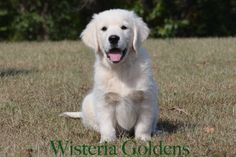 Available and so cute! Halo's Green Boy Ben-- Starter trained Puppy.