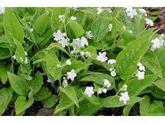 Omphalodes Verna alba - Le jardin de Taurignan, producteur de plantes vivaces