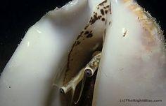 Milk Conch (Strombus costatus), Cayman Islands ~ photo b y B N Sullivan for TheRightBlue.com