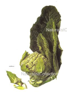 Vegetable Print 1976 Colored Art Original by NaturalistCollection