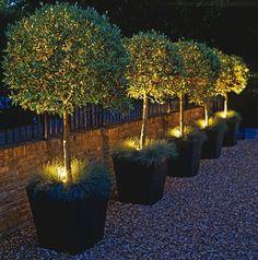 Lit olive trees