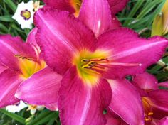 Kathleen's day lily