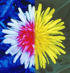 The overall appearance of a flower head changes when it is seen in ultraviolet light. Here is the familiar mop of a dandelion as an example.
