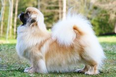 Tibetan Spaniel, extremely intelligent and highly affectionate.