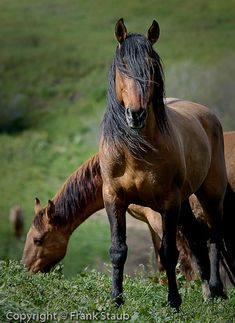 Wild Spanish Mustang Horse