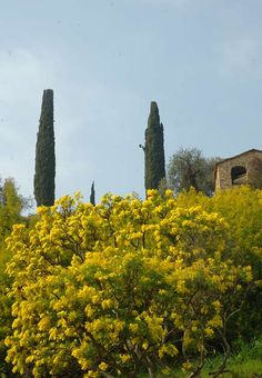 8th March is the Women International Day and in Italy we usually exchange a mimosa flower between women or men give it to us :-)