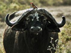 bufalo africano - Pesquisa Google