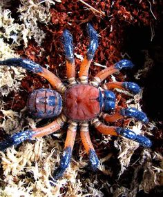 TRAP DOOR SPIDER Liphistius desultor ©Andrew Ang Liphistius is a genus of basal trapdoor spiders in the family Liphistiidae. The Liphistius desultor is found in Malaysia. Cool Insects, Bugs And Insects, Beautiful Bugs, Amazing Nature, Spiders And Snakes, Trap Door, Cool Bugs, Itsy Bitsy Spider, A Bug's Life