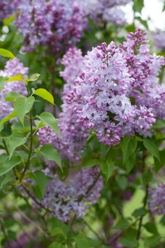 Lilac - Im thinking I want to plant one somewhere in our yard, in memory of my Gramma Nell. I would love to be able to smell it every Spring and think of her <3