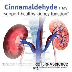 Cinnamaldehyde may support healthy kidney function