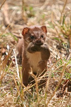As with the least weasel, mouse-like rodents predominate in the stoat's diet. However, unlike the least weasel which almost exclusively feeds on small voles, the stoat regularly preys on larger rodent and rabbit species.