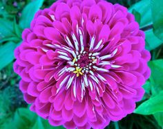 CLEARANCE SALE Purple Prince Benarys Huge Zinnia by kenyonorganics