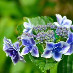 お出かけ先の画像 by 新ちゃんさん | お出かけ先とおつかれさまとあじさい ブルーと梅雨の花と梅雨と今日の一枚とアジサイ 紫陽花とあじさい寺とアジサイ科とあじさいフォトコンテスト2016