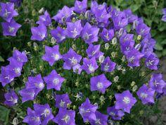 Прекрасные цветы - Карпатский колокольчик