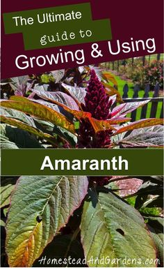 The ultimate guide to growing and using amaranth (a gluten-free pseudograin/pseudocereal related to Quinoa);  Amaranth recipes; How to grow amaranth; Different kinds of amaranth (Amaranthus hypochondriacus, Amaranthus caudatus, Amaranthus cruentus.)   Seeds available from the Seed Library! mesalibrary.org/seedlibrary