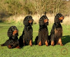 Google Image Result for http://www.mousematuk.co.uk/Mouse%2520Mats/Dogs/Gordon%2520Setter/slides/Gordon%2520Setter%25209Y105D-080.JPG  The most beautiful dogs!!