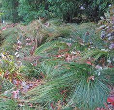 carex morrowii 'silk tassel', happen in sun or shade at The Scott Arboretum.