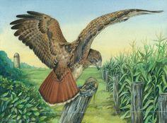Red-tailed Hawk - Farmland Guard by Brenda Lyons - Falcon Moon Studio