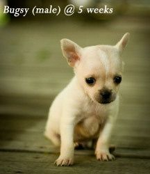 Bugsy is an adoptable Chihuahua Dog in Kentwood, LA. Bugsy and his 3 littermates were rescued along with their mom from a very small, very crowded parish shelter when they were just 3 weeks old. adoptable-louisiana-pets