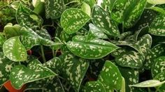 Have a poorly lit place? No problem. Pothos require little light, and won't shrivel up if you forget to water it.