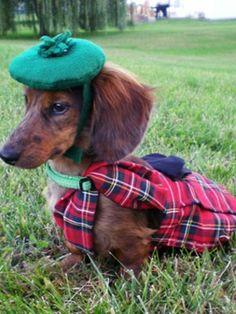 Scottish Dachshund #dachshund #doxie #wienerdog #hotdog