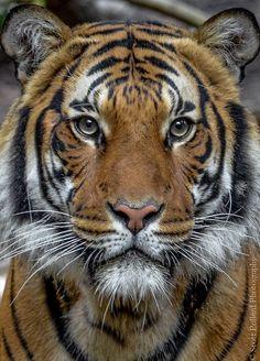 (via 500px / Tiger by s_pollard)