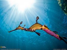 Male weedy sea dragon carries bright pink eggs underneath his tale..