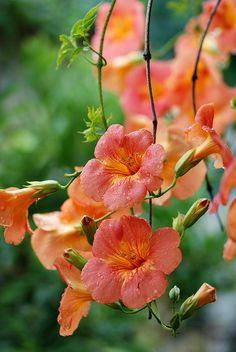 "Campsis chinensis (syn. Campsis grandiflora) ""Chinese Trumpet Creeper"""