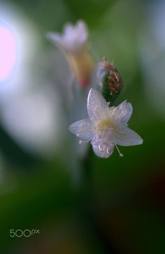 Rhipsalis micrantha by Nate Abbott.... #flower #plant #botanicalNate #abbott #Cactus #Rhipsalis #micrantha Wallpaper S, Dandelion, Cactus, Relax, Angel, Bird, Flowers, Plants, Landscapes