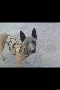 "WAR DOGS: All through ancient history we can find examples of war dogs serving faithfully. A FREQUENTLY CITED EXAMPLE OF WAR DOGS AND THEIR LOYALTY IS NAPOLEON'S writing in his memoirs, ""I walked over the battlefield and among the slain, a poodle killed bestowing a last lick upon his dead friend's face. Never had anything on any battlefield caused me a like emotion.""      http://www.huffingtonpost.com/2013/04/25/history-of-war-dogs-_n_3155904.html"