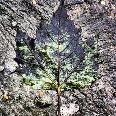 Contrasted leaf