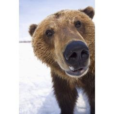 Captive Extreme Close-Up Of Brown Bear At The Alaska Wildlife Conservation Center Southcentral Alaska Winter Canvas Art - Doug Lindstrand Design Pics Animals And Pets, Baby Animals, Funny Animals, Cute Animals, Baby Pandas, Wild Animals, Baby Bears, Cute Bears, Nature Animals