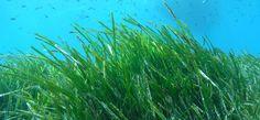 Seegraswiesen. Grüne Lungen der Meere - unser Bericht in der Kategorie Biologie in DiveInside - dem frischen Onlinemagazin von Taucher.Net