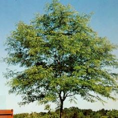 Shademaster Locust, 60 x 30.  Proven very hardy it is widely planted for windbreaks and soil erosion control. It is a fast growing tree with good trunk. It has a more or less rectangular outline formed by the upright ascending branches which then spread horizontally. Excellent street and lawn tree because it is thornless and seedless. The dark green foliage turns yellow for great fall color. The leaves are fine textured, medium green in color and seldom need raking because of their fine…