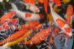 Fische im Yuan Sen Botanical Garden Botanical Gardens, Taiwan, Food, Vegetarian Food, Fish, World, Meals