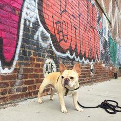 the daily walter cronkite, French Bulldog