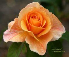 Rose 'Fred Howard'