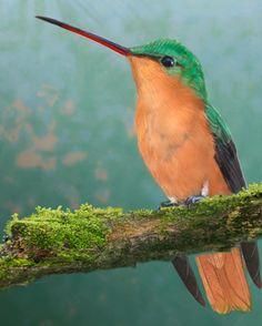 Cinnamon Hummingbird - (Amazilia rutila)