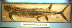 In Sternberg discovered this Xiphactinus (Zie-FACT-i-nus) with its final meal, a Gillicus, preserved within its ribcage. Above is a photo of the actual specimen. Hays Kansas, Ancient Fish, Fish Fossil, Walking With Dinosaurs, Museum Displays, Dinosaur Fossils, Extinct Animals, Prehistoric Creatures, Rocks And Gems