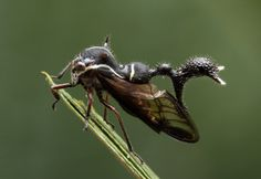 What is this strange beast?! I want one. (Treehopper, family Membracinae)