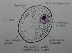 Intestinal Amebae- Subphylum: Sarcodina, Phylum: Sarcomastigophora. Iodamoeba butschii cyst characteristics