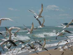 Gulls, Hobe Sound FL