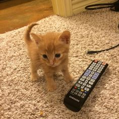Tiny kitten - remote for scale. Cute Baby Cats, Cute Little Animals, Cute Cats And Kittens, Cute Funny Animals, Cool Cats, Kittens Cutest, Funny Cats, Pretty Cats, Beautiful Cats