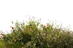 wild flowers png - Google Search