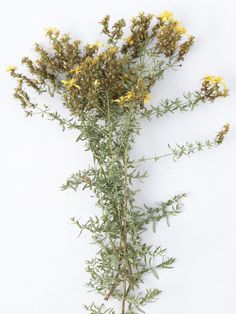 St Johns Wort (Hypericum perfoliatum)to relieve anxiety, nervous tension, menopausal disturbances, premenstrual syndrome, shingles, sciatica and fibrositis. However, it should never be taken with allopathic anti-depressants. Externally, it's used for burns, blisters, bruises and other injuries (especially deep and painful wounds). It is beneficial for the skin and can be used in moisturising creams – but apply only at night as the herb can cause pigmentation during the day.